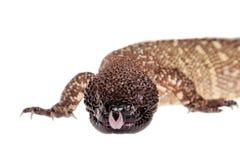Venomous Z paciorkami jaszczurka odizolowywająca na bielu Zdjęcia Royalty Free