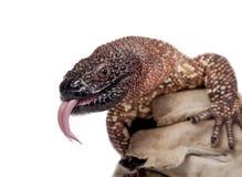 Venomous Z paciorkami jaszczurka odizolowywająca na bielu Zdjęcie Royalty Free