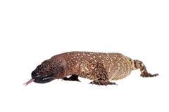 Venomous Z paciorkami jaszczurka odizolowywająca na bielu Zdjęcie Stock