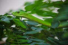 Venomous Zielony mamba Drzewny wąż zdjęcie royalty free