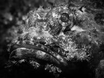 Venosa de Raggy Scorpianfish - de Scorpaenopsis fotos de archivo