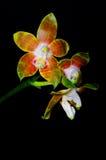 Venosa del Phalaenopsis Fotografía de archivo libre de regalías