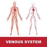 Venous system Stock Image