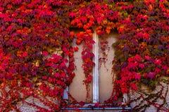 Venster dat met kleurrijke de herfstbladeren wordt overwoekerd van klimop Stock Foto