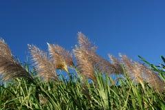 Vent dans des domaines de canne à sucre images libres de droits