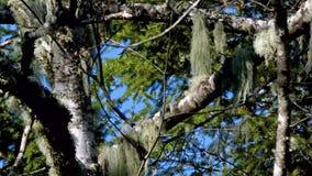 Vent soufflant par la mousse d'arbre dans une forêt banque de vidéos