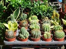 Venta de los cactus en el mercado de la flor Fotos de archivo libres de regalías