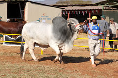 Ventaja blanca del toro del brahmán por la foto del controlador Fotografía de archivo libre de regalías