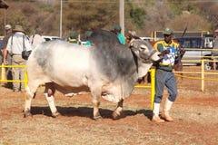 Ventaja blanca del toro del brahmán por la foto del controlador Fotos de archivo