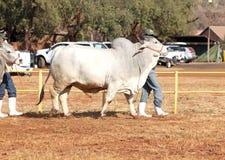 Ventaja blanca del toro del brahmán por la foto del controlador Imagenes de archivo