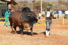 Ventaja del toro del brahmán de Brown por la foto del controlador Foto de archivo
