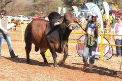 Ventaja del toro del brahmán de Brown por la foto del controlador Imágenes de archivo libres de regalías