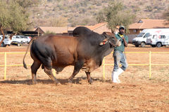 Ventaja del toro del brahmán de Brown por la foto del controlador Fotografía de archivo libre de regalías