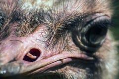 Ventana de la nariz de la avestruz Fotos de archivo libres de regalías