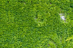 Ventana en la pared verde de la hiedra. Fotografía de archivo