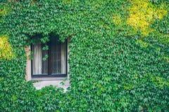 Ventana vieja rodeada por las plantas de la hiedra del arrastramiento Imagenes de archivo