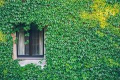 Ventana vieja rodeada por las plantas de la hiedra del arrastramiento Imagen de archivo libre de regalías
