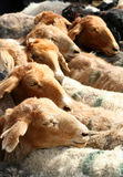 vente de chèvres Photos libres de droits