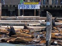 ventesimi Anniversario dei leoni di mare sul pilastro 39 Fotografie Stock