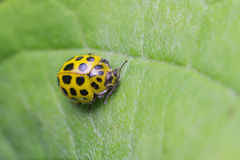 Ventidue punti Ladybird Fotografia Stock