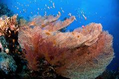 Ventilador coralino Imágenes de archivo libres de regalías