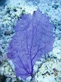 Ventilador coralino púrpura foto de archivo libre de regalías