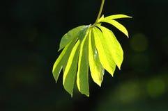 Ventilador das folhas Imagens de Stock Royalty Free