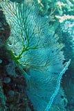 Ventilador de Gorgonian Foto de Stock