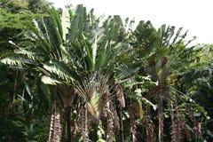 Ventilador de la palma de las hojas de ruta (traveler) de Ravenala Madagascariensis Fotografía de archivo