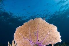 Ventilador de mar 2 Fotografia de Stock