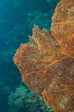 Ventilador de mar común Imagen de archivo libre de regalías