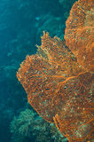 Ventilador de mar comum Imagem de Stock Royalty Free