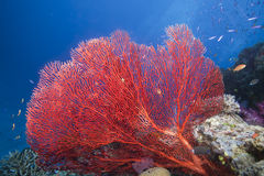 Ventilador de mar, Fiji Imagen de archivo