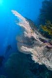 Ventilador de mar gigante (mollis de Annella) Imagen de archivo