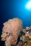 Ventilador de mar gigante (mollis de Annella) Foto de archivo libre de regalías
