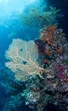 Ventilador e coral de mar imagens de stock royalty free
