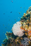 Ventilador y coral comunes de mar Imágenes de archivo libres de regalías