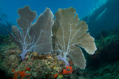 Ventiladores de mar gêmeos em uma borda coral Fotografia de Stock Royalty Free