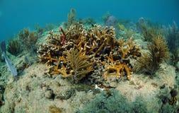 Ventiladores do coral e de mar subaquáticos Fotos de Stock