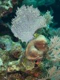 Ventiladores do recife e de mar foto de stock royalty free