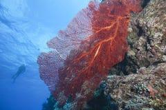 Ventilateur de mer, Fiji image stock
