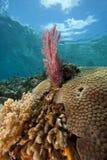Ventilateur de mer rose lumineux sur un récif coralien tropical image libre de droits