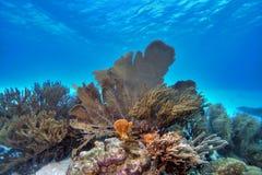 Ventilateur de mer sur le récif coralien Image stock