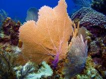 Ventilateurs de mer dans le caïman Brac Photos stock