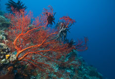 Ventilateurs de mer de Gorgonian Indonésie Photo libre de droits