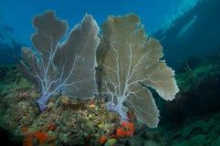 Ventilateurs de mer jumeaux sur une saillie de corail Photographie stock libre de droits