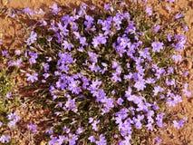 Ventilatorbloem inheems aan Kangoeroeeiland Royalty-vrije Stock Foto's