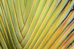 Ventilatore della banana Fotografia Stock Libera da Diritti