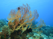 Ventilatore di Gorgonian fotografie stock