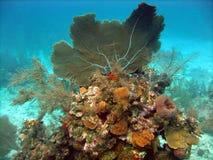 Ventilatore di mare di Gorgonian fotografie stock
